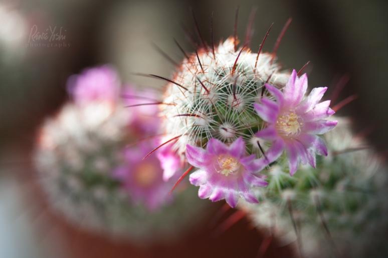 IMG_3165 cactus.blossoms_smw